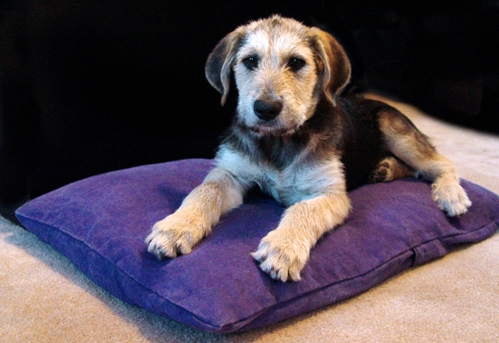 earthdog pack member fletcher on a natural hypoallergenic dog bed in classic dog pattern