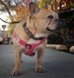 earthdog pack member mabel wearing fuchsia step-in hemp harness